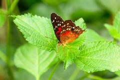 Brown Peacock (Ralph Apeldoorn) Tags: anartiaamathea brownpeacock butterfly vlinder vlindertuin vlindorado waarland noordholland nederland