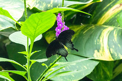Great Mormon (Ralph Apeldoorn) Tags: asianswallowtail butterfly greatmormon papiliomemnon vlinder vlindertuin vlindorado waarland noordholland nederland