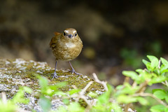 MPP_6970 (Marco N. Pochi) Tags: nikon nikkor nature n500pf lesser shortwing bird wildlife d850 500pf hongkong
