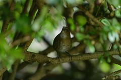 MPP_6933 (Marco N. Pochi) Tags: nikon nikkor nature n500pf lesser shortwing bird wildlife d850 500pf hongkong