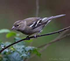 Female Chaffinch_E5A8319 (Jonathan Irwin Photography) Tags: female chaffinch nature british whinfell forest