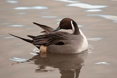 Northern pintail, WWT Slimbridge, UK (inyathi) Tags: uk england gloucestershire wwt slimbridge wildfowlandwetlandstrust wildfowl waterfowl birds ducks northernpintail