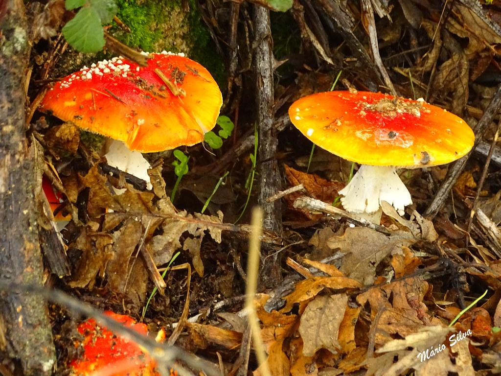 Águas Frias (Chaves) - ... cogumelos (amanita parcivolvata)que têm tanto de vistosos como de tóxicos ...