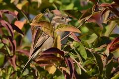 Moineau domestique - Passer domesticus - House sparrow (pablo 2011) Tags: collectionnerlevivantautrement nikond7100 sigmalenses sigma 120400 mm rouen normandie wildlife viesauvage nature animal oiseau bird housesparrow moineaudomestique passerdomesticus camouflage
