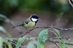 Mésange charbonnière (Tofsynet) Tags: mésange charbonnière bleue birds oiseaux europe