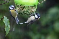 À deux c'est mieux (Tofsynet) Tags: mésange charbonnière bleue birds oiseaux europe