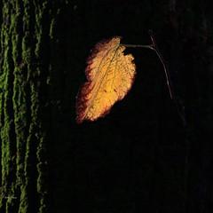 Slicing light (Robyn Hooz) Tags: golden leave foglia oro padova ombra luce muschio musk tronco trunk wood albero tree