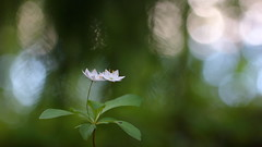 Untitled (jttoivonen) Tags: nature flower plant flora bokeh closeup summer forest finland creativecommons detail white