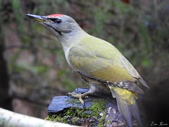 Grey-headed Woodpecker ♂ (Picus canus) (eerokiuru) Tags: greyheadedwoodpecker picuscanus grauspecht dzięciołzielonosiwy picchiocenerino седойдятел hallpearähn nikoncoolpixp900 p900 bird wildlife nature birding vogel eesti estonia