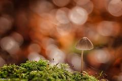09112019-DSC_0044 (vidjanma) Tags: 1champi champignons flares mousse