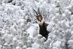La Natura e'.... (silvano fabris) Tags: faunaselvatica faunaalpina mountain canonphotography nature natura wildlifephotography animali camoscio