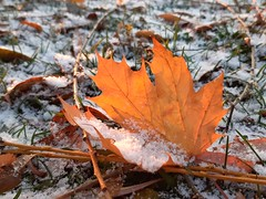 snow dusted leaves... (angelinas) Tags: leaf leaves nature naturephotography natura feuilles snow snowcovered macrophotography macro natureza outdoor textures details lanature fallfoliage autumnleaves autunno automne weather neige foglie