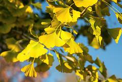 Autumn gold (Millie Cruz (On and Off)) Tags: ginkgobiloba ginkgo autumn fall leaves leaf yellow golden tree vshape ef24105mmf4lisusm canoneos5dmarkiii blue sky flickrlounge weekendtheme