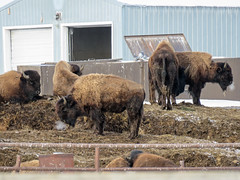 Bison farm (annkelliott) Tags: alberta canada wofcalgary justnofhwy1 birdingtrip farm bison domesticated farmed group herd building outdoor fall autumn 7november2019 canon sx60 canonsx60 powershot annkelliott anneelliott ©anneelliott2019 ©allrightsreserved
