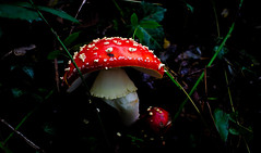 No worries I will protect you! (deamadre) Tags: mushroom red woodland poison amanita muscaria pyrenees france europe spots white autumn