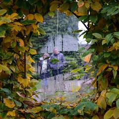 Poem window in beech hedge (Allan Rostron) Tags: trees parks suburbs york aehoumsan loveliestoftrees poems poetry windows rain ashropshirelad autumn beech