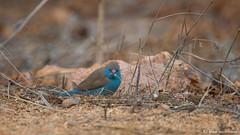 Blue Waxbill (leendert3) Tags: leonmolenaar southafrica krugernationalpark wildlife wilderness wildanimal nature naturereserve naturalhabitat bird bluewaxbill ngc npc