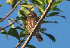 Ferruginous Pygmy-Owl (Glaucidium brasilianum) (Gavin Edmondstone) Tags: glaucidiumbrasilianum ferruginouspygmyowl waqankilodge owl bird peru