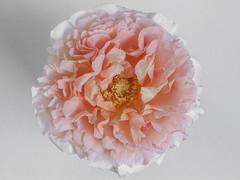Abraham Darby (Jesús Emilio Monje) Tags: rosa rose flores flowers pink jardín macro