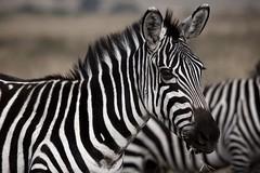 Zebra Masai Mara, Kenya (WOfoto) Tags: kenya africa masai mara travel animal wildlife zebra sigma 150500mm f563 dg os apo hsm 150500 nikon d7200 bokeh