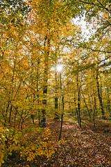 Buchenwald (KaAuenwasser) Tags: buchen buchenwald wald baum bäume pflanzen herbst herbstlich jahreszeit laub blatt blätter natur sonne sonnenstern stern strahlen sonnenstrahlen licht schatten november karlsruhe