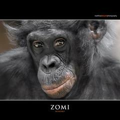 ZOMI (Matthias Besant) Tags: affe affen affenfell animal animals ape apes pygmychimpanzee fell zwergschimpanse hominidae hominoidea mammal mammals menschenaffen menschenartig menschenartige monkey monkeys primat primaten saeugetier saeugetiere tier tiere trockennasenaffe bonobo schauen blick blicken augen eyes look looking zoo zoofrankfurt matthiasbesant matthiasbesantphotography zomi hessen deutschland