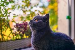 Das Vogelhaus am Küchenfenster (Corno3) Tags: cat bokeh mabel katze haustier britishshorthair tier britischkurzhaar petzval new f22 85 lomography zenit