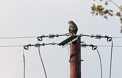 Buzzard (Salopian07) Tags: bird wildbird birdofprey raptor buzzard