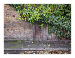 The Built Environment, Walthamstow, East London, England. (Joseph O'Malley64) Tags: thebuiltenvironment newtopography newtopographics manmadeenvironment manmadestructures building structures victorianbuilding victorian walthamstow eastlondon england uk britain british greatbritain housing home dwelling abode fig figtree figleaves fallenleaves ivy variegatedivy overgrowth overgrown vegetation greenery garden backgarden gardengate gate woodengate fencepanels woodenfencingpanels brickwork bricksmortar cement pointing airbrick vent render waterdamage frostdamage coalsootdamage acidraindamage hygroscopicsaltsinbrickwork damp tarmac moss algae granitekerbing road roadsurface branches urban urbanlandscape architecture architecturalphotography documentaryphotography britishdocumentaryphotography fujix fujix100t accuracyprecision