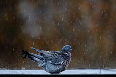 Autumnal Showers (Robin M Morrison) Tags: woodpigeon rain heavy roof
