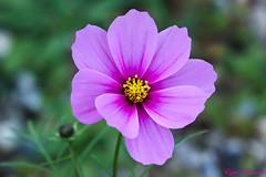 Les derniers  cosmos avant l'hiver (Ezzo33) Tags: nammour ezzat ezzo33 france aquitaine 33 bordeaux parc jardin sony rx10m3 fleur fleurs flower flowers rouge red mauve pink rose yelow jaune wihte blanc bleu bleue réserve cosmos