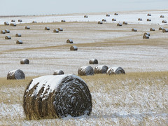 Hay bales west of the city (annkelliott) Tags: alberta canada wofcalgary justnofhwy1 birdingtrip landscape scenery hill field harvest haybales scattered notyetcollected snowcovered stubble snow outdoor fall autumn 7november2019 canon sx60 canonsx60 powershot annkelliott anneelliott ©anneelliott2019 ©allrightsreserved