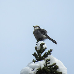 Canada Jay / Perisoreus canadensis (annkelliott) Tags: alberta canada wofcalgary sibbaldcreektrail highway68 nature ornithology avian bird canadajay perisoreuscanadensis formerlygrayjay nationalbirdofcanada perched distanttreetop frontsideview snow covered sky outdoor fall autumn 7november2019 canon sx60 canonsx60 powershot annkelliott anneelliott