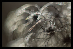 silky appendages (pete ware) Tags: clematisvitalba organic peteware darlandnaturereserve kent featheryseedheads nikond500 afsnikkor55200mmf56g