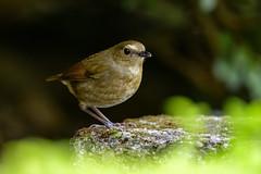 MPP_6943 (Marco N. Pochi) Tags: nikon nikkor nature n500pf lesser shortwing bird wildlife d850 500pf hongkong