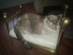 This is what happens when you assemble a doll's bed... (Livdollcity) Tags: cat siamese funny doll bed