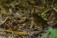 MPP_6959 (Marco N. Pochi) Tags: nikon nikkor nature n500pf lesser shortwing bird wildlife d850 500pf hongkong