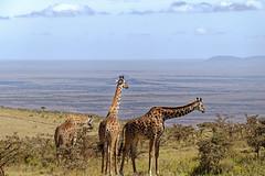 Tansania 10 (bernti_brot) Tags: tansania afrika safari ngorongoro caldera serengeti wildlife ngc löwe lion buschschliefer geier marabu dikdik kronenkranich giraffe giraffes