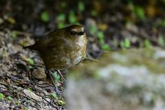 MPP_6916 (Marco N. Pochi) Tags: nikon nikkor nature n500pf lesser shortwing bird wildlife d850 500pf hongkong