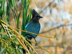 Steller's Jay (starmist1) Tags: bird stellersjay willowtree tree perch backyard autumn fall cool raining cloudy ave