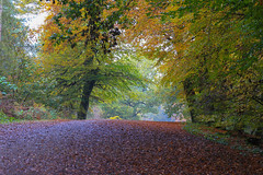 Delamere Forest (norm.edwards) Tags: autumn red ochre trees forest leaves redish country love cheshire path leafcarpet carpet