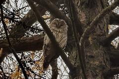 Длиннохвостая неясыть, Strix uralensis, Ural Owl (Oleg Nomad) Tags: длиннохвостаянеясыть strixuralensis uralowl птицы москва сова bird aves moscow