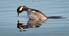 Bufflehead dive reflection 1 (fisherkingbat) Tags: minnesotavalleynationalwildliferefuge divingduck duck bufflehead