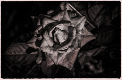 la fin d'une rose (.Sophie C.) Tags: nord 59 cambrésis leshautsdefrance fleur flore plante jardin dansmonjardin rose monochrome