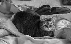 Alice on the bed (Alfredo Liverani) Tags: happy caturday happycaturday cat cats gato blackwhite black white europa europe italia italy italien italie emiliaromagna romagna faenza faventia faience animal kitten gatto gatta gatti gatte chats chat katze katzen gatos pet pets tabby furry kitty moggy moggies gattino animale ininterni animaledomestico aliceellen alice ellen 3102019 project365310 project365110619 project36506nov19 oneaday photoaday pictureaday project365 project project2019 2019pad canonm50 canon m50 eos eosm50 canoneosm50 eoskissm pointandshoot point shoot ps flickrdigital flickr digital camera cameras