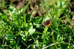 farfalla_ (manuela.nardulli) Tags: farfalla bosco natura animali fiori fiore