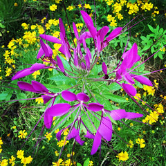 Spider Flower (Ntvgypsylady) Tags: spiderflower cleome flower purple close up spider weeds bee plants spiky stinking clover annual clusters yellow flowers green foilage