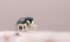 Heliophanus sp., juvenile with prey (Psocoptera) (Benjamin Fabian) Tags: heliophanus male spring spinne springspinne jumping spider salticid salticidae araneae arthropod close up macro closeup sony sel90 makro raynox a6000 arthropoda