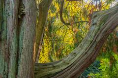 Westonbirt Arboretum (tramsteer) Tags: tramsteer trees backlit westonbirtarboretum leaves bark gloucestershire cotswolds england europe