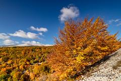 Mont Ventoux - Hêtres aux couleurs d'automne (jean-louis21) Tags: automne ventoux hêtre golden beeches forest forêt mont